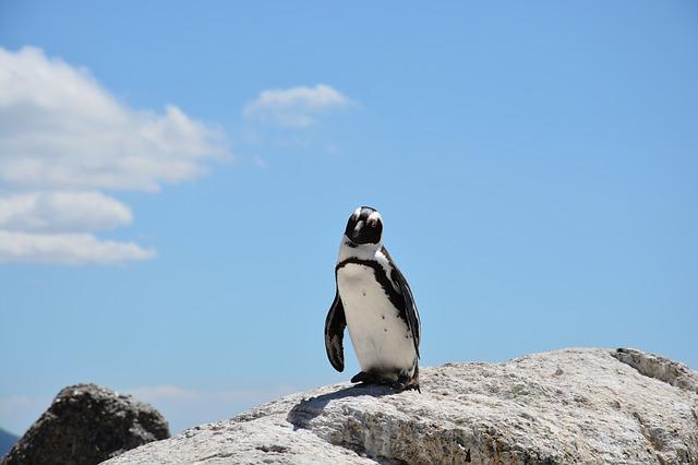 tučňák na skále